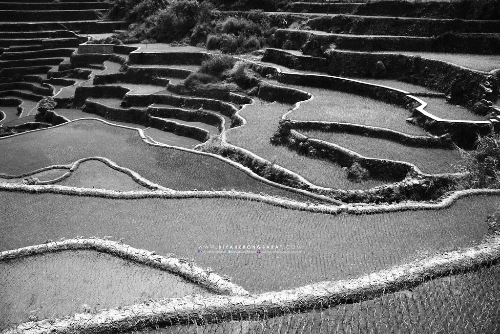 maligcong rice terraces trekking the village mountain province